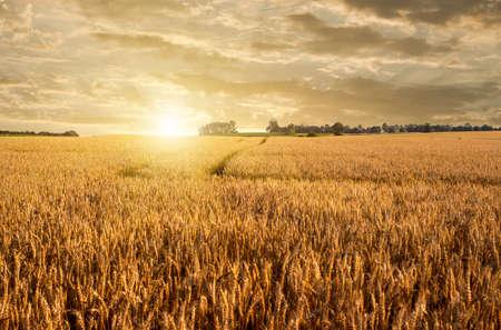 avena: campo de trigo dorado y la carretera en la puesta del sol Foto de archivo