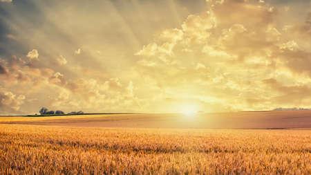 Golden wheat field on sunset Foto de archivo