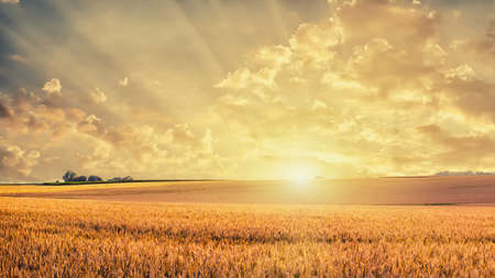 Golden wheat field on sunset