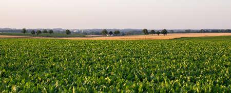 green field and sugar beet Stock Photo