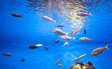 School of Tuna Fish in the Sea. Stock Photo