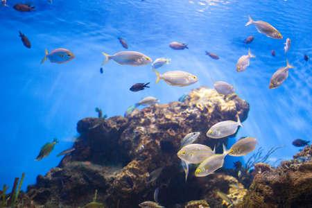 thunnus: School of Tuna Fish