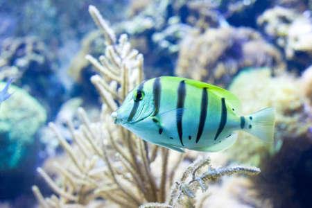 Sergeant major fish Stock Photo