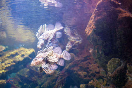 firefish: beautiful Lionfish on the coral reefs