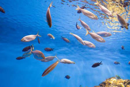 thunnus: School of Tuna Fish in the Sea. Stock Photo