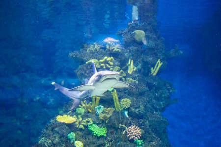 menacing: White grey shark Stock Photo