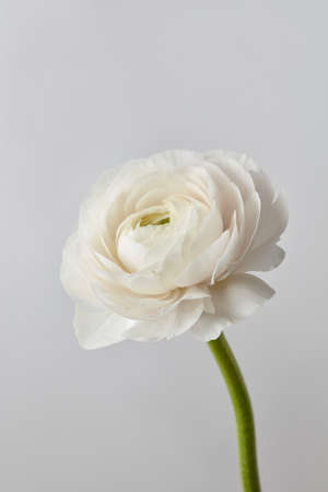 White ranunculus flower on a gray background stock photo picture stock photo white ranunculus flower on a gray background mightylinksfo