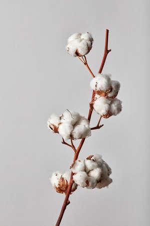 Oddział białe bawełniane kwiaty na białym tle na szarym tle Zdjęcie Seryjne