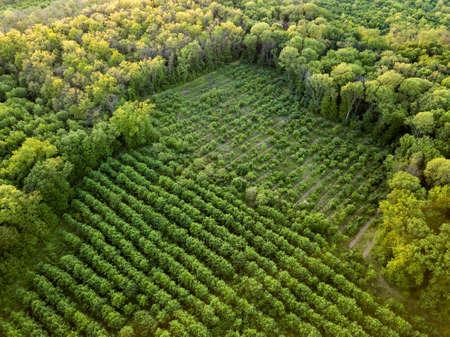 Vista aérea desde el dron, vista de pájaro al bosque con plantaciones verdes de varias edades y alturas.