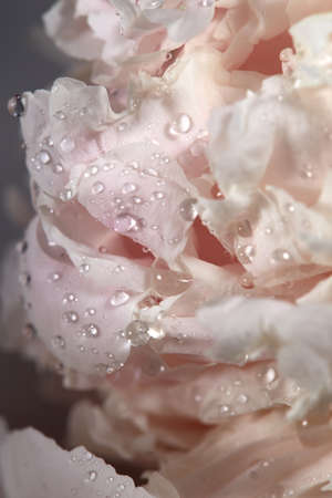 Gently pink flower. Water drops on the pio on a gray background macro photo. Floral background Banco de Imagens