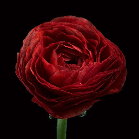 Dark red Ranunculus flower, Ranunculaceae family on the black background. Close up,