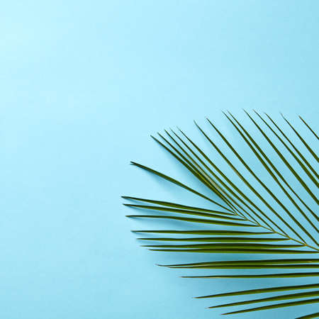 Green palm leaf on a blue background with copy space. Natural layout. Flat lay Stock Photo