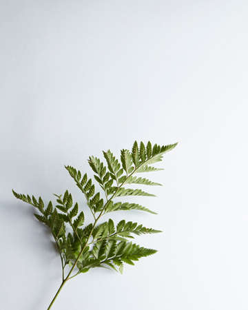 A branch of fresh fern presented on a gray background with space for text. Foliage layout