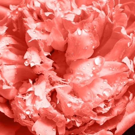 Macro photo of a beautiful tender petals of peony with drops of water. Natural floral background in a color of the year 2019 Living Coral pantone . Imagens