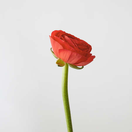 Beautiful ranunculus flower in a color of the year 2019 Living Coral Pantone on a gray background with copy space.