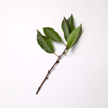 Branch with green leaves presented on a gray background with space for text. Spring time. Top view