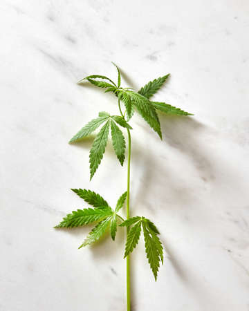 Fresh natural green cannabis twig on a grey marble background with soft shadows, copy space. Flat lay. Concept use of cannabis for medical puposes.