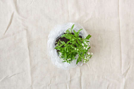Blossoming green plant with tender flowers in a plastic bag. Top view. Banque d'images