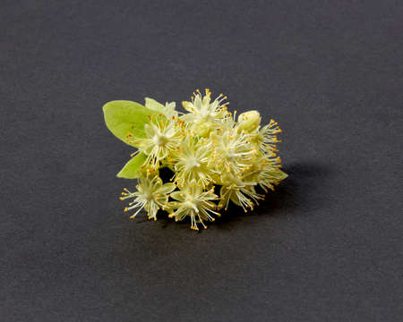 Flowering natural branch of Linden or Tilia tree with yellow flowers.