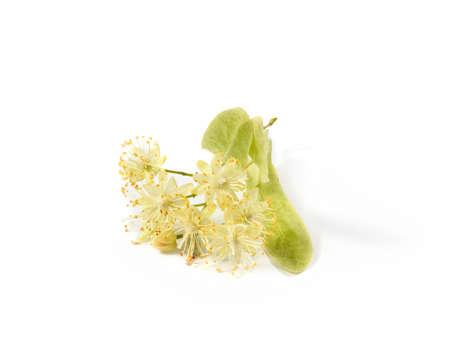 Medical flowering plant of fresh natural branch of Linden or Tilia tree. Standard-Bild