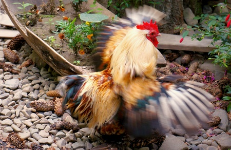 flapping: Chicken soars