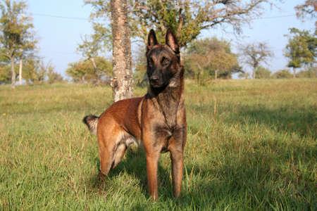 doggy position: A Belgian shepherd standing in a meadow.