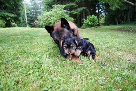 doggy position: A Belgian shepherd with a Yorkshire terrier puppy.