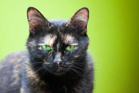moggy: A beautiful European cat in portrait.