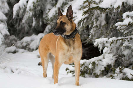 doggy position: A malinois in the snow.