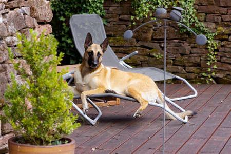 A female belgian shepherd in relaxation mode.
