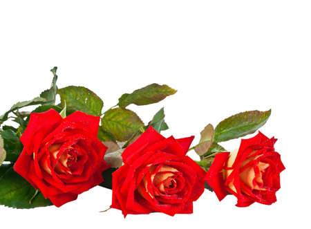 Beautiful red roses with water droplets. Isolated on white background photo