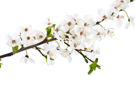 a sprig: Blooming sprig of cherry on white background. Stock Photo