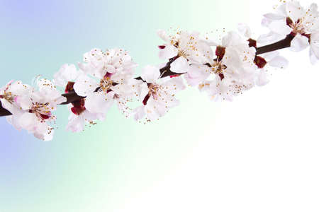 a sprig: Blooming sprig of almond on blue background. Stock Photo