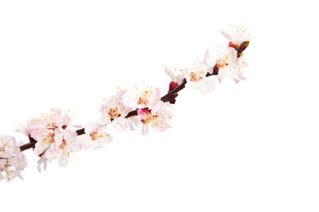 cherry blossoms: Blooming sprig of almond on white background.