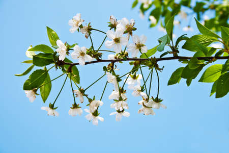 cherry blossom branch on blue sky background photo