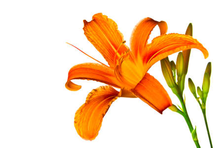 Orange tiger lily isolated on white background Stock Photo - 14185409