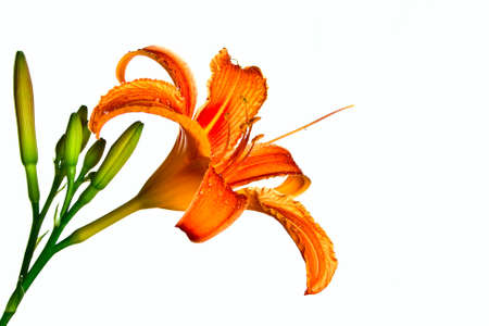 water lily: Orange tiger lily isolated on white background