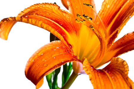 Orange tiger lily isolated on white background photo