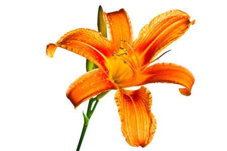 Orange tiger lily isolated on white background Stock Photo - 14185411
