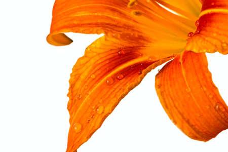 Orange tiger lily isolated on white background photo