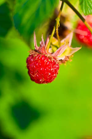 ripe wild raspberries on green blurred  photo