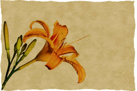 tiger lily: Orange tiger lily picture on old paper Stock Photo