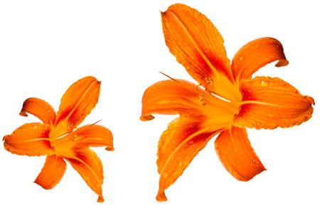 Orange tiger lily isolated on white background Stock Photo - 14392799