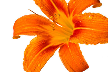 Orange tiger lily isolated on white background Stock Photo - 14392797