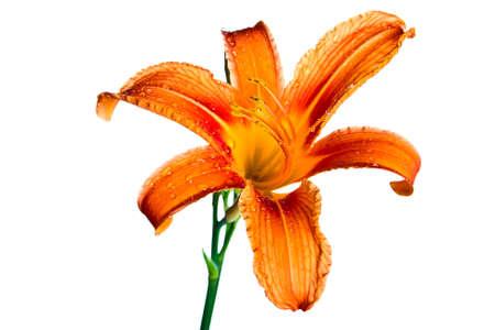 Orange tiger lily isolated on white background