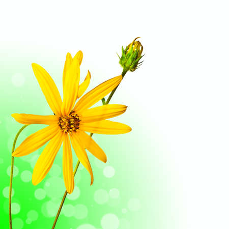 oxeye: Beautiful summer flower on green abstract background