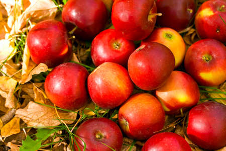 ripe red apples in grass and leaves