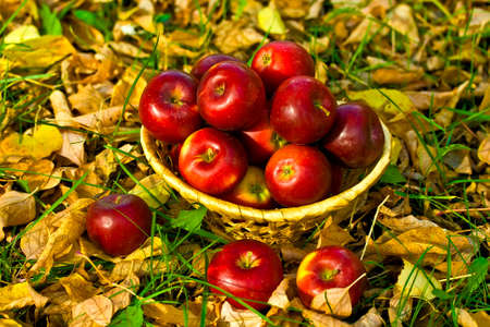 red apples in wicker basket in grass and leaves photo