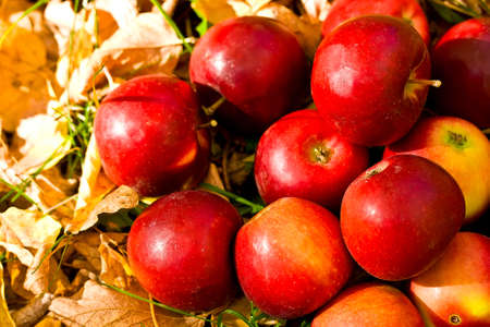 ripe red apples in grass and leaves photo