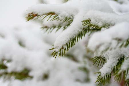 holyday: fir branch in snow  Winter holyday macro